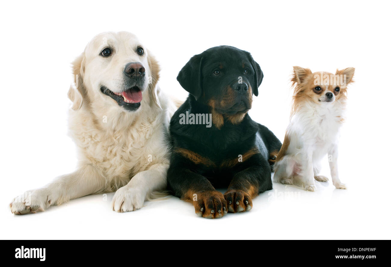 Labrador And Rottweiler Cut Out Stock Images Pictures Alamy