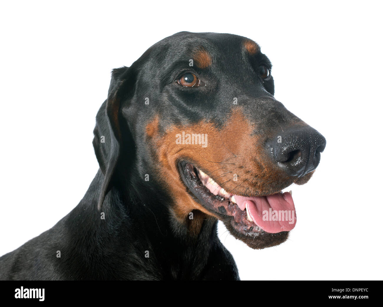 doberman pinscher in front of white background - Stock Image
