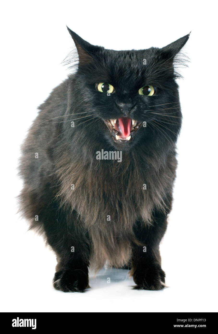 black cat angry in front of white background - Stock Image