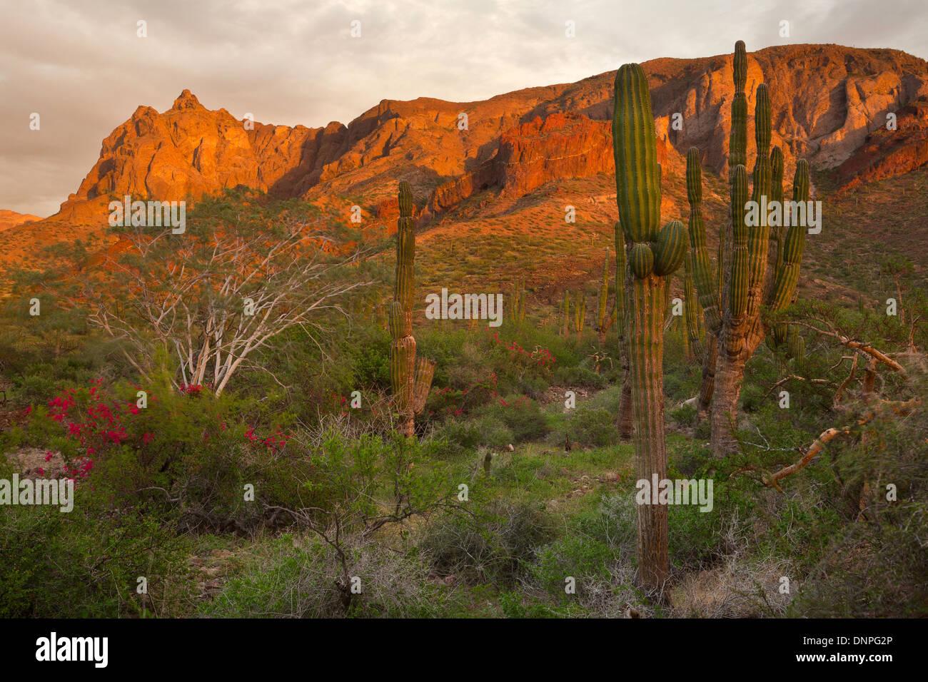 Cardon Cactus (Pachycereus pringlei) near Balandra in Baja, Mexico. - Stock Image