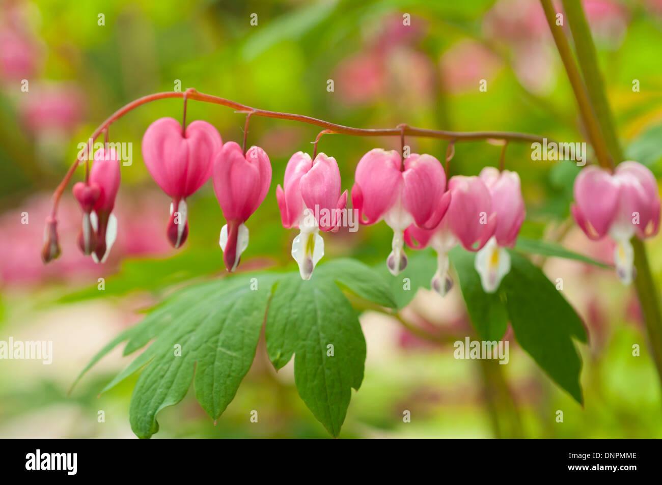 Macro Picture Of Bleeding Heart Flowers Dicentra Spectabilis Focus