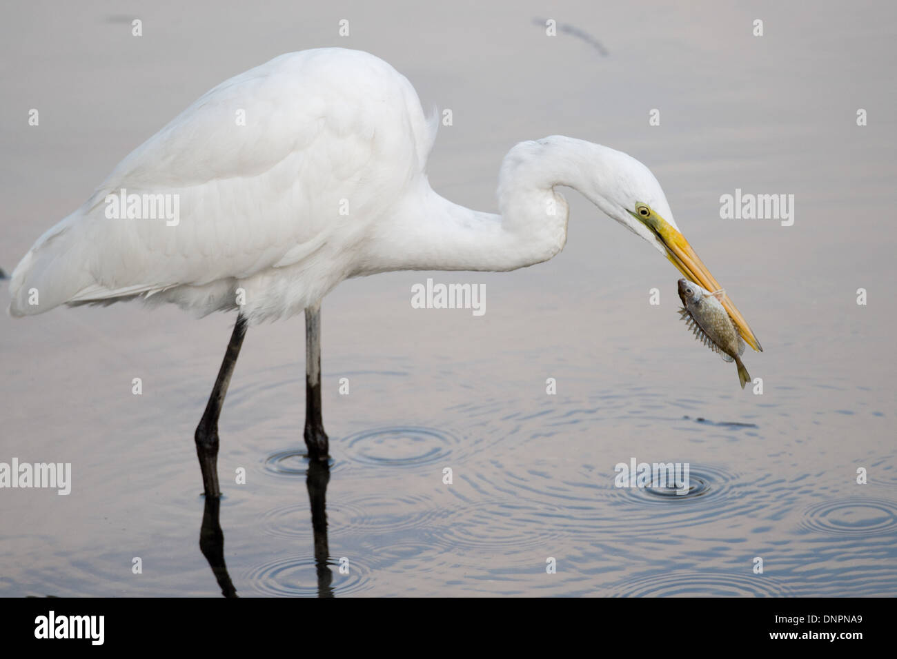 Great Egret, Ardea alba, catching fish, Hong Kong, Pearl River Delta. - Stock Image