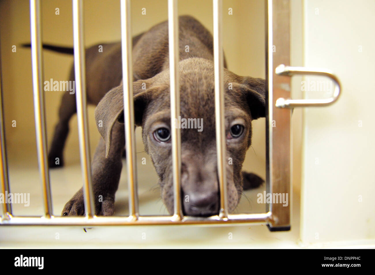 A puppy in Cardiff Dogs Home, which sees an increase in intake after the Christmas period. - Stock Image