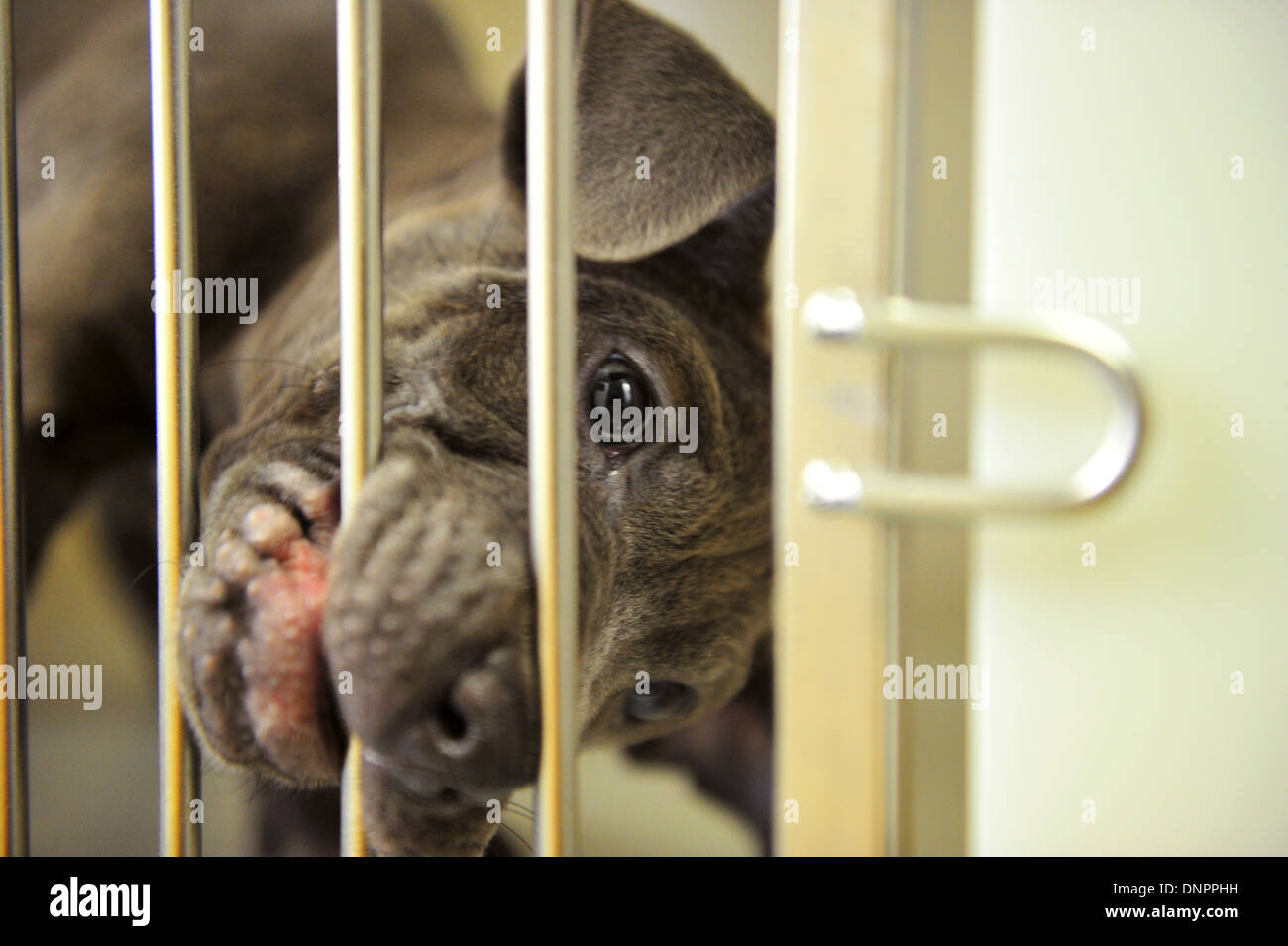 A puppy biting its cage in Cardiff Dogs Home, which sees an increase in intake after the Christmas period. - Stock Image