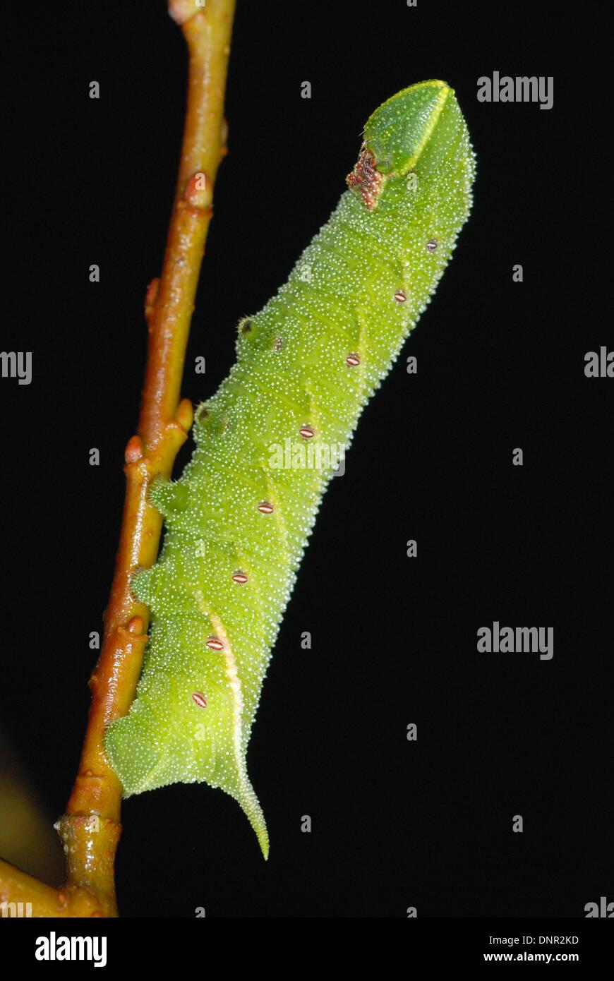 Poplar Hawk Moth Caterpillar (Laothoe populi) - Stock Image