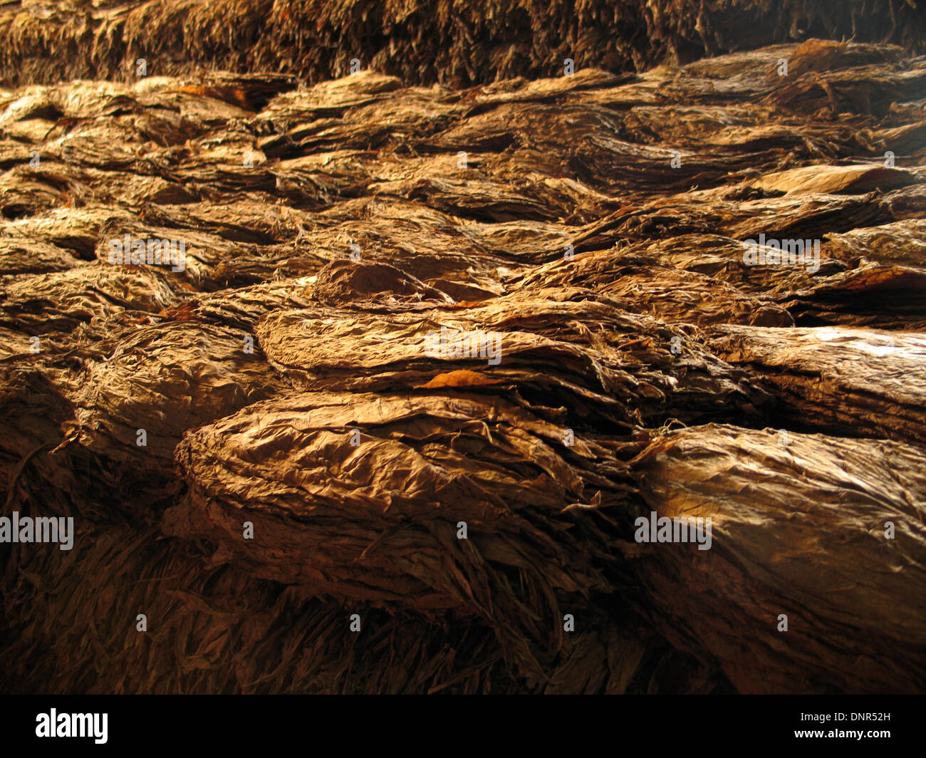 Drying cigar leaves - Cuba - Stock Image