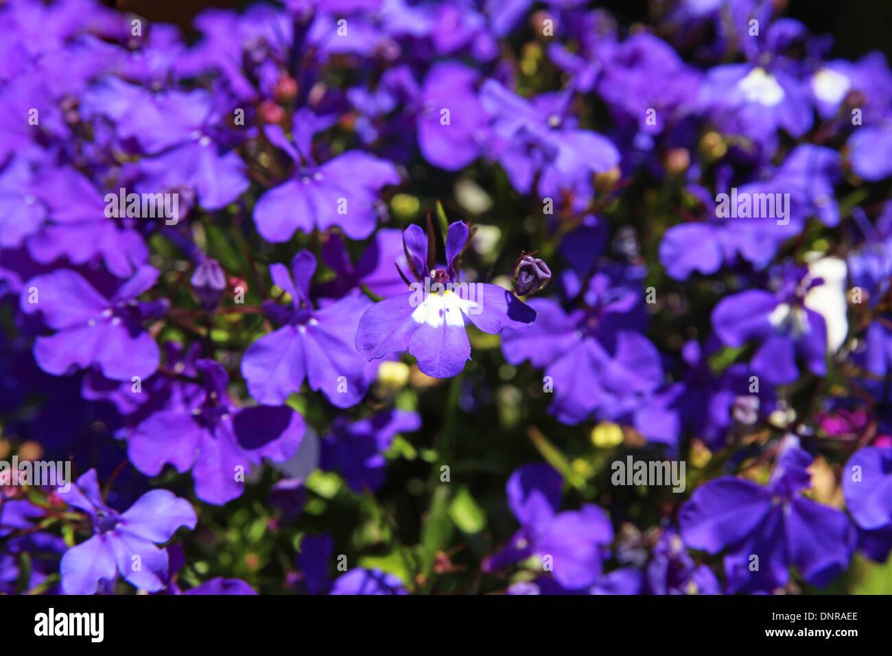 Lobelia Erinus Cultivar Mrs Clibran An Annual Summer Bedding