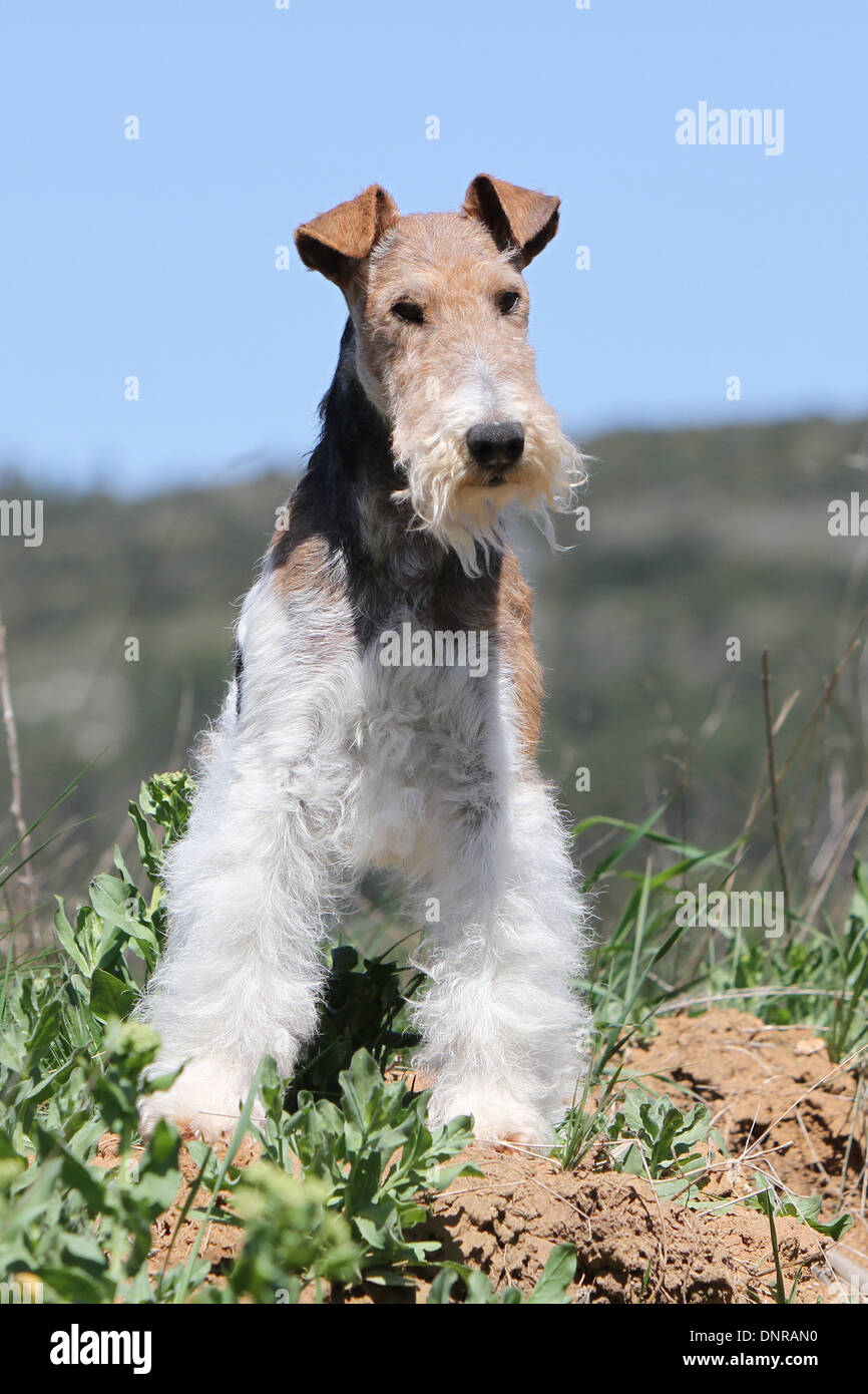 Wire Fox Terrier Standing On Stock Photos & Wire Fox Terrier ...