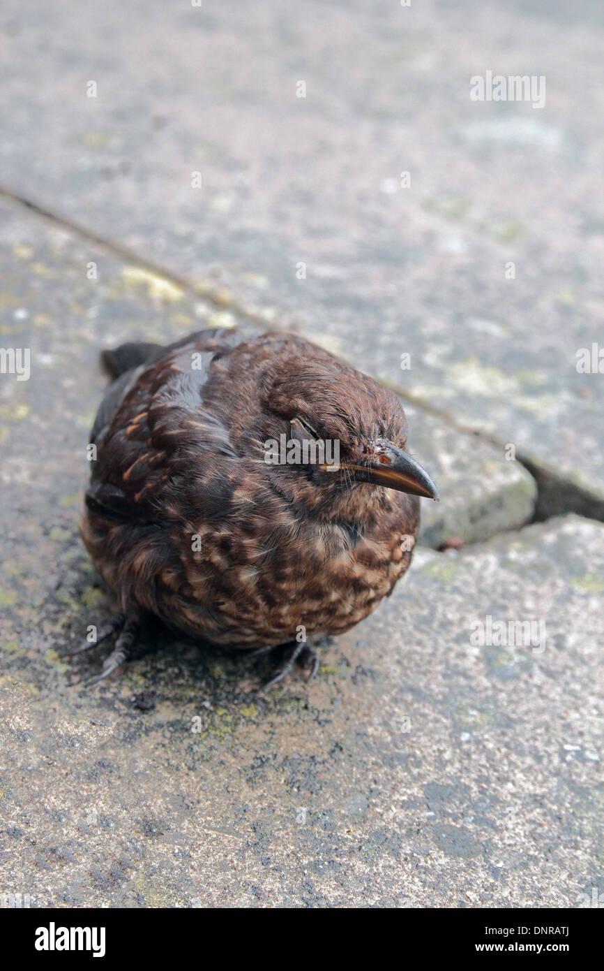 Dazed or Stunned Juvenile Blackbird ( Turdus merula ) Crouched on Paving Slabs, UK - Stock Image