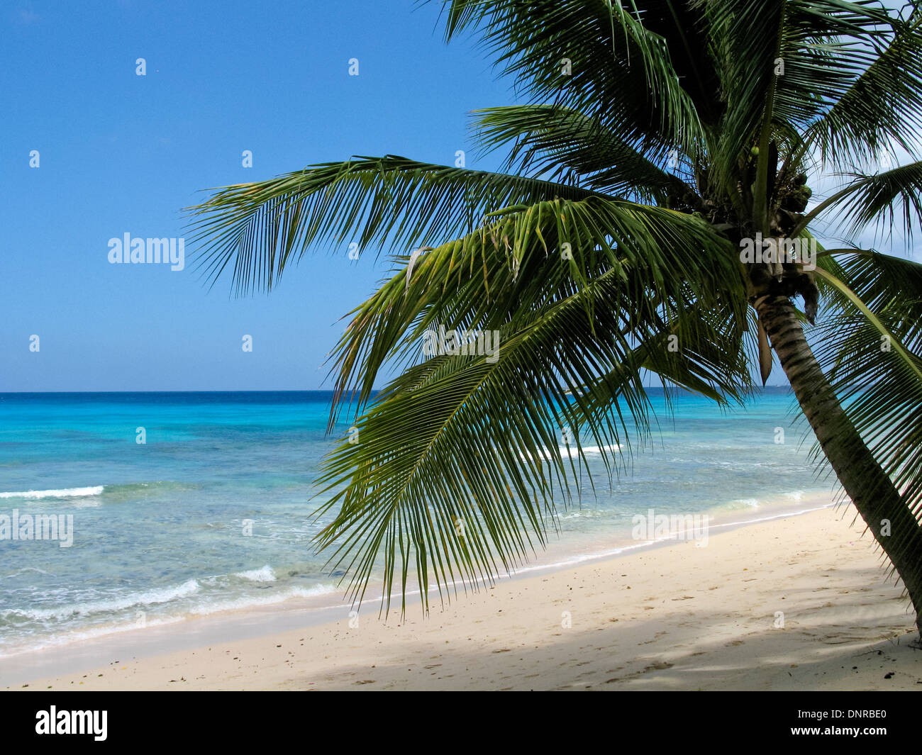 leaning palm tree on beach in barbados with view of caribbean sea