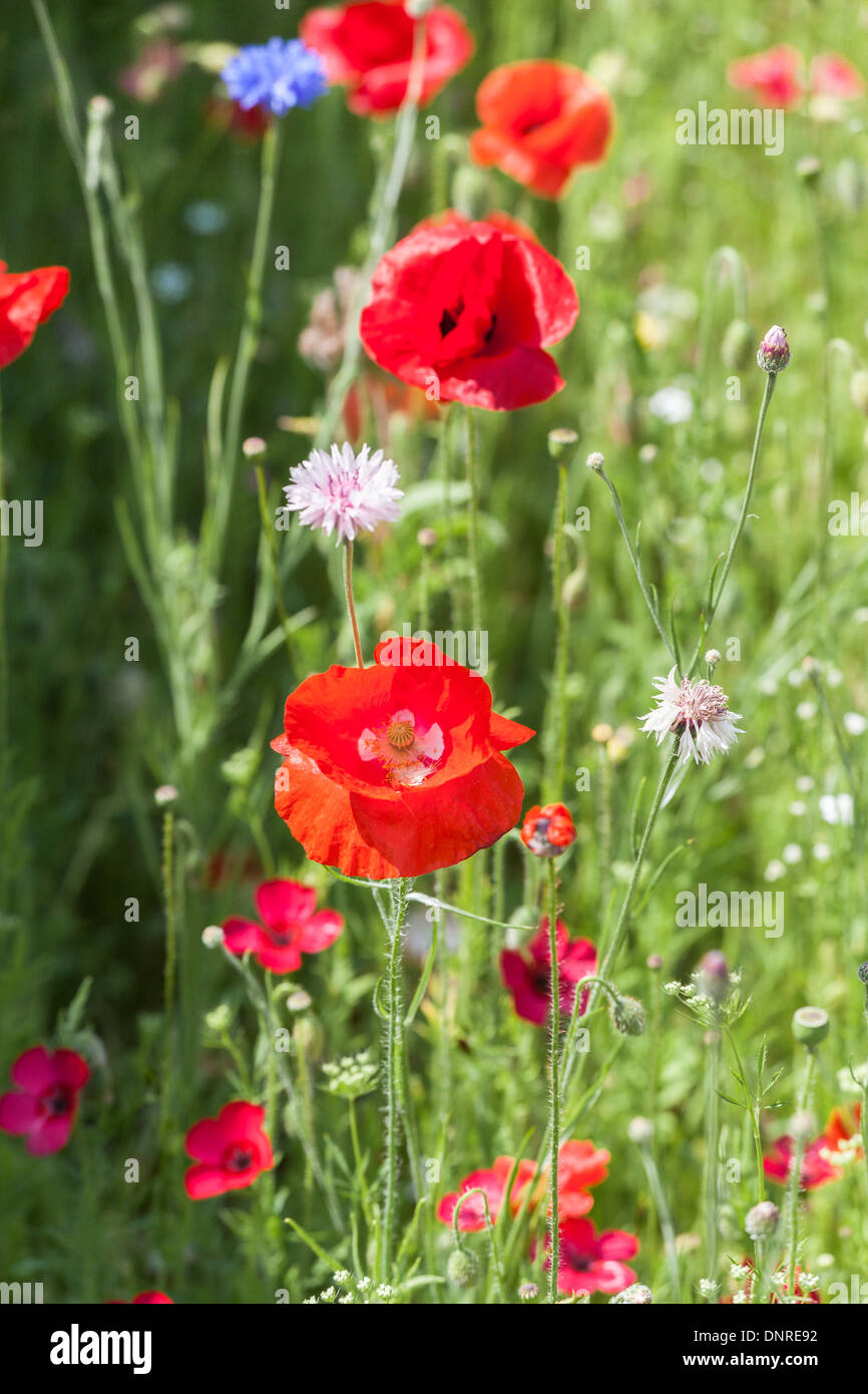 Red poppy in a field of wild flowers, in summer, Surrey, England, UK - Stock Image