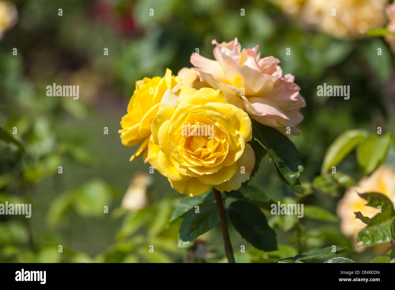 Yellow rose, turning to pink, 'China Town' - Stock Image
