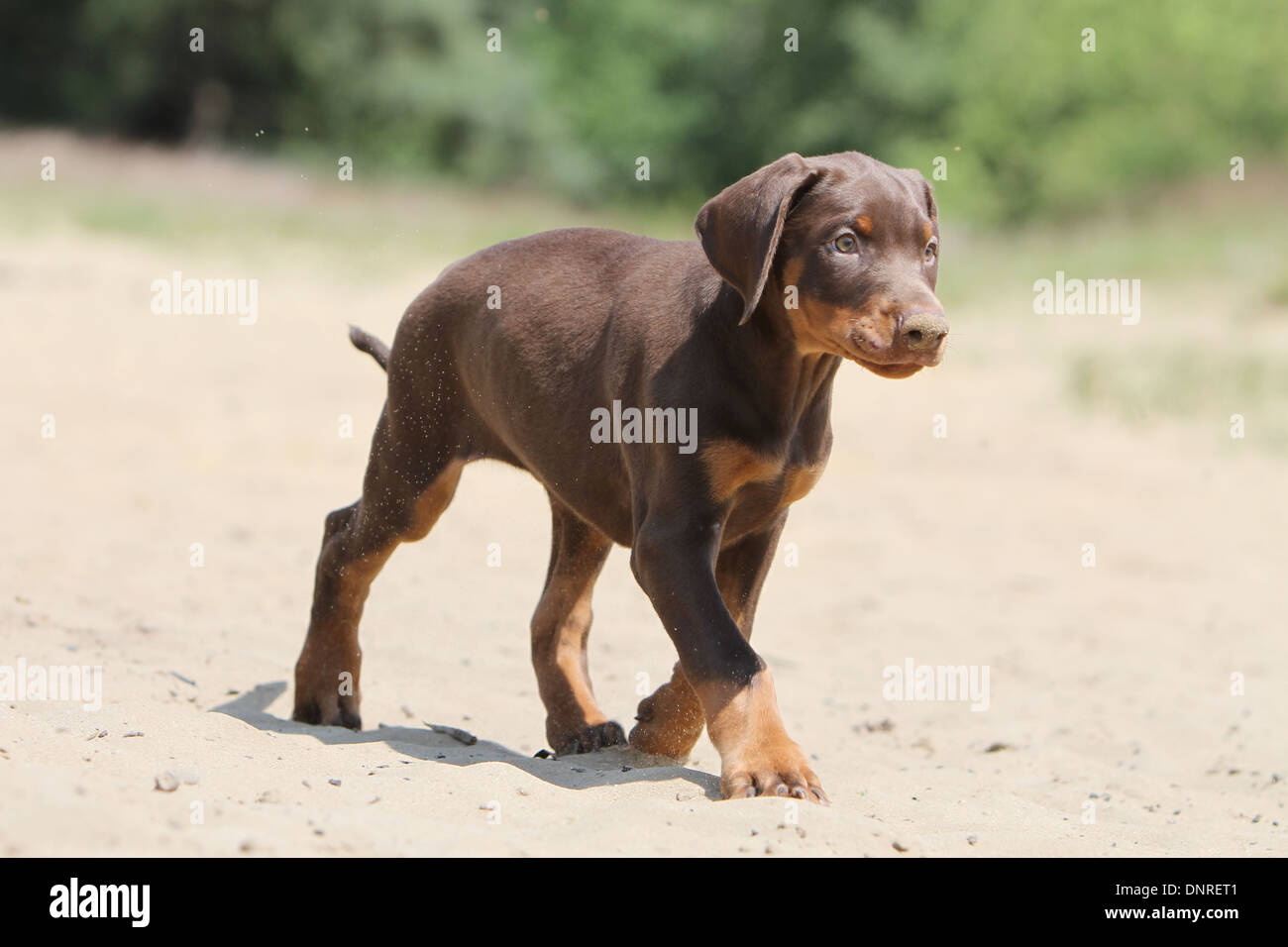 Dog Dobermann Doberman Pinscher Natural Ears Puppy Walking On