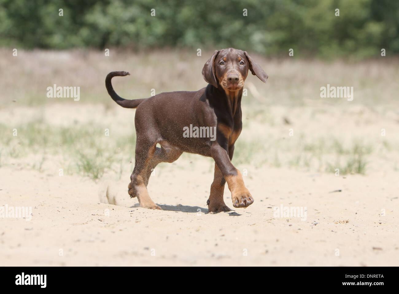 Dog Dobermann / Doberman Pinscher (natural ears) /  puppy walking on the sand - Stock Image