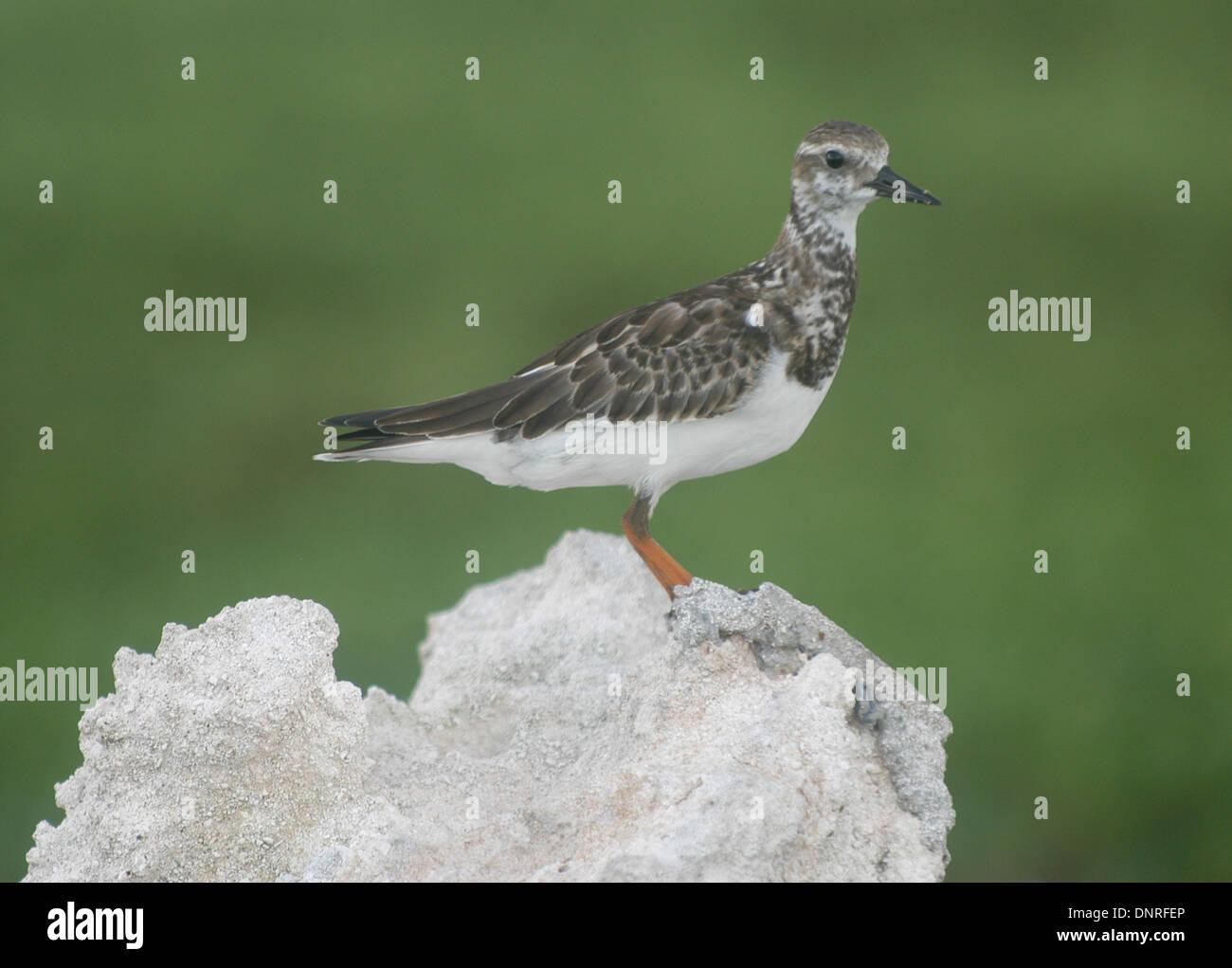 A seabird perches on a rock in Bird Island (Isla de Aves) a small island located in the Caribbean Sea, Venezuela - Stock Image