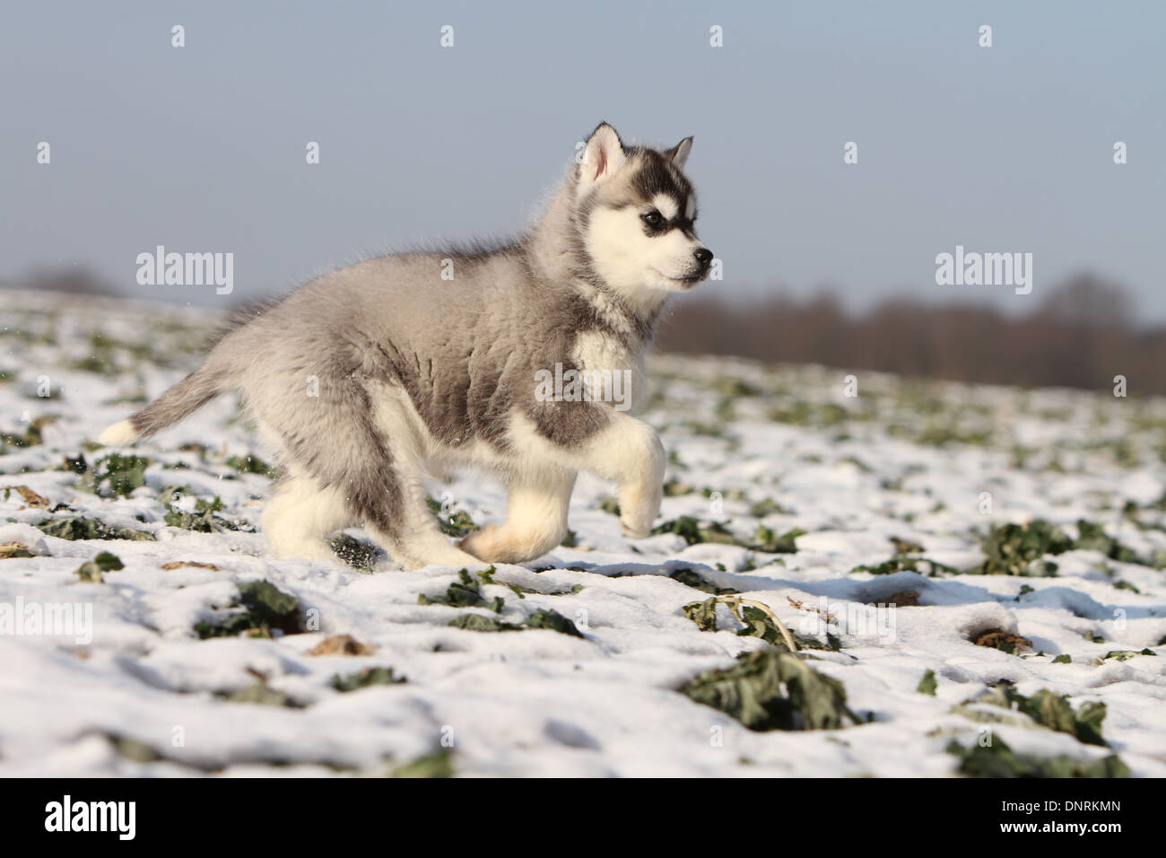 Dog Siberian Husky Puppy Running In The Snow Stock Photo 65059253