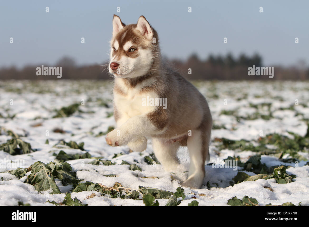 Dog Siberian Husky Puppy Running In The Snow Stock Photo 65059268