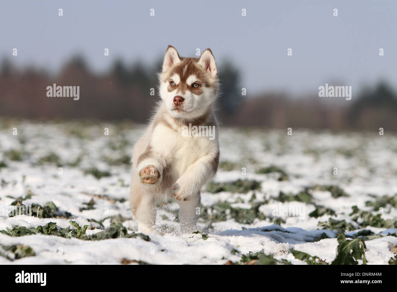 Dog Siberian Husky Puppy Running In The Snow Stock Photo 65059588