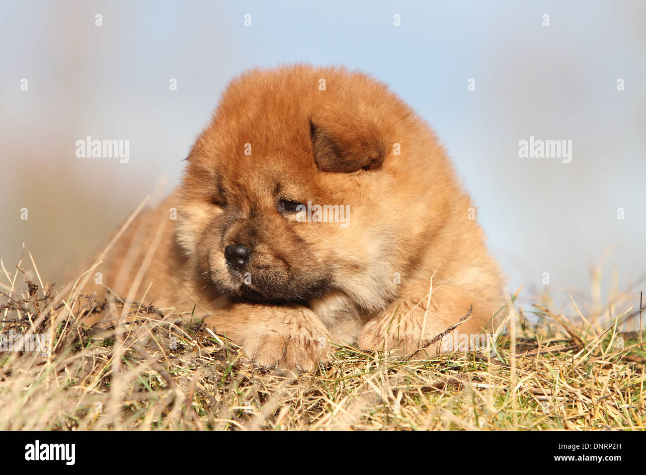 Chow Chows Stock Photos & Chow Chows Stock Images - Alamy
