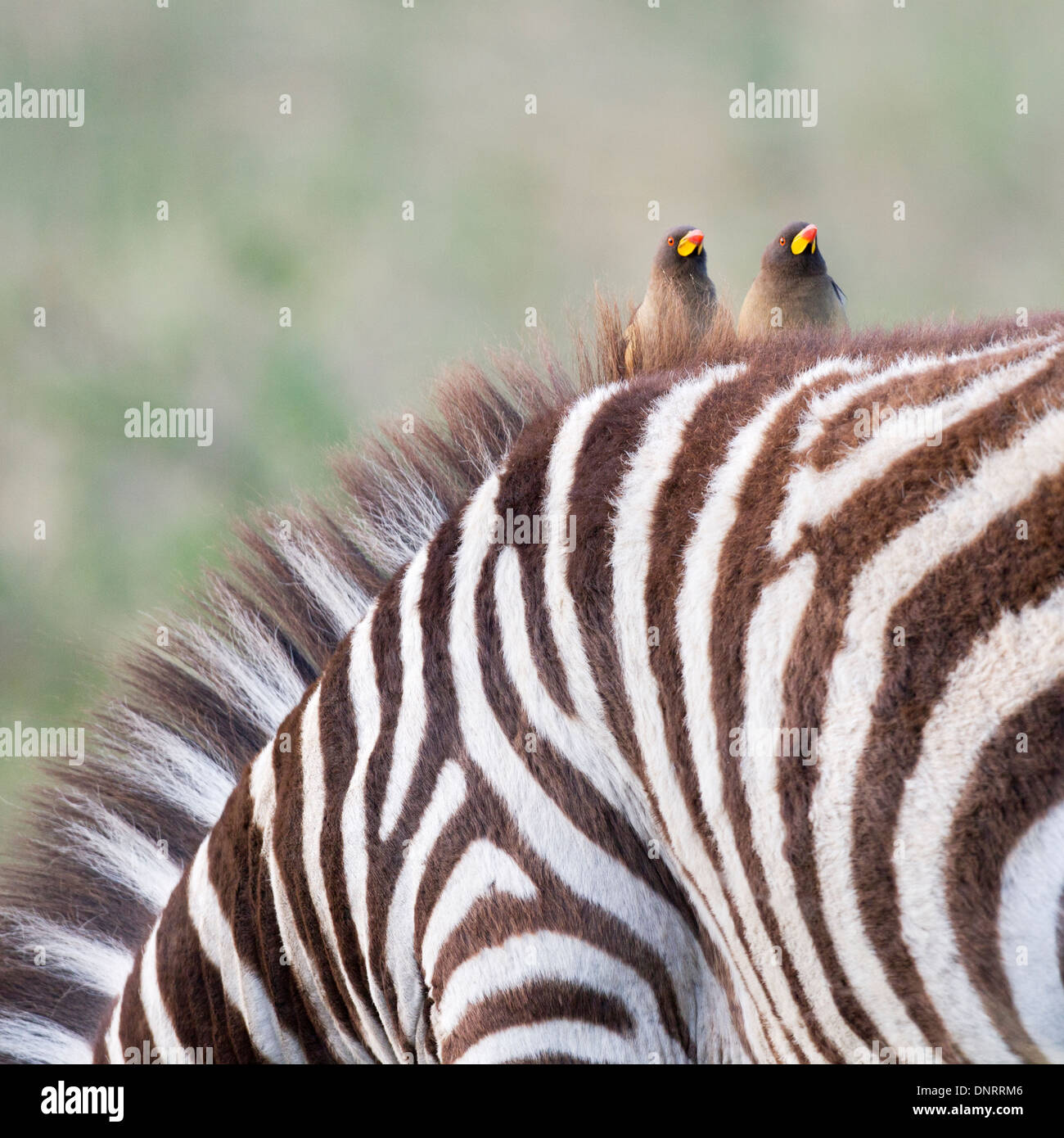 Yellow-billed oxpeckers on zebra in Kenya - Stock Image