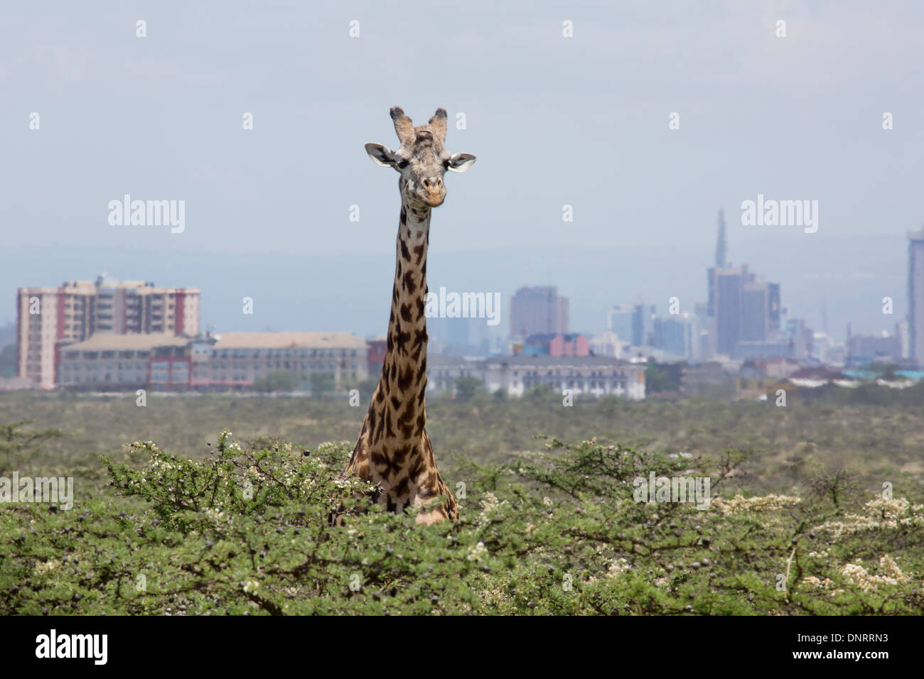 Giraffe with city skyscrapers beyond. Nairobi National Park, Kenya - Stock Image