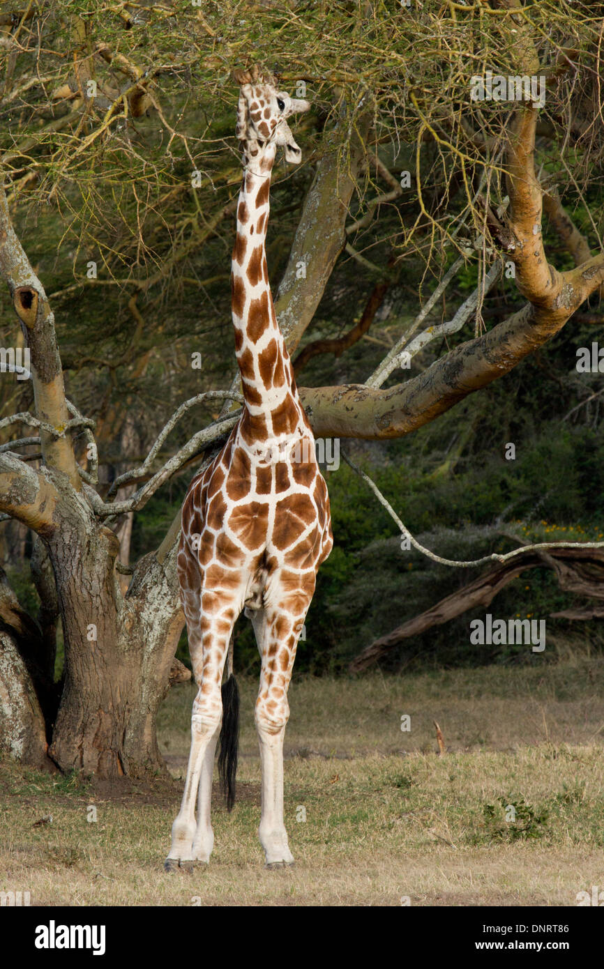 Rothschild's Giraffe feeding from yellow-barked acacia in game reserve, Kenya - Stock Image
