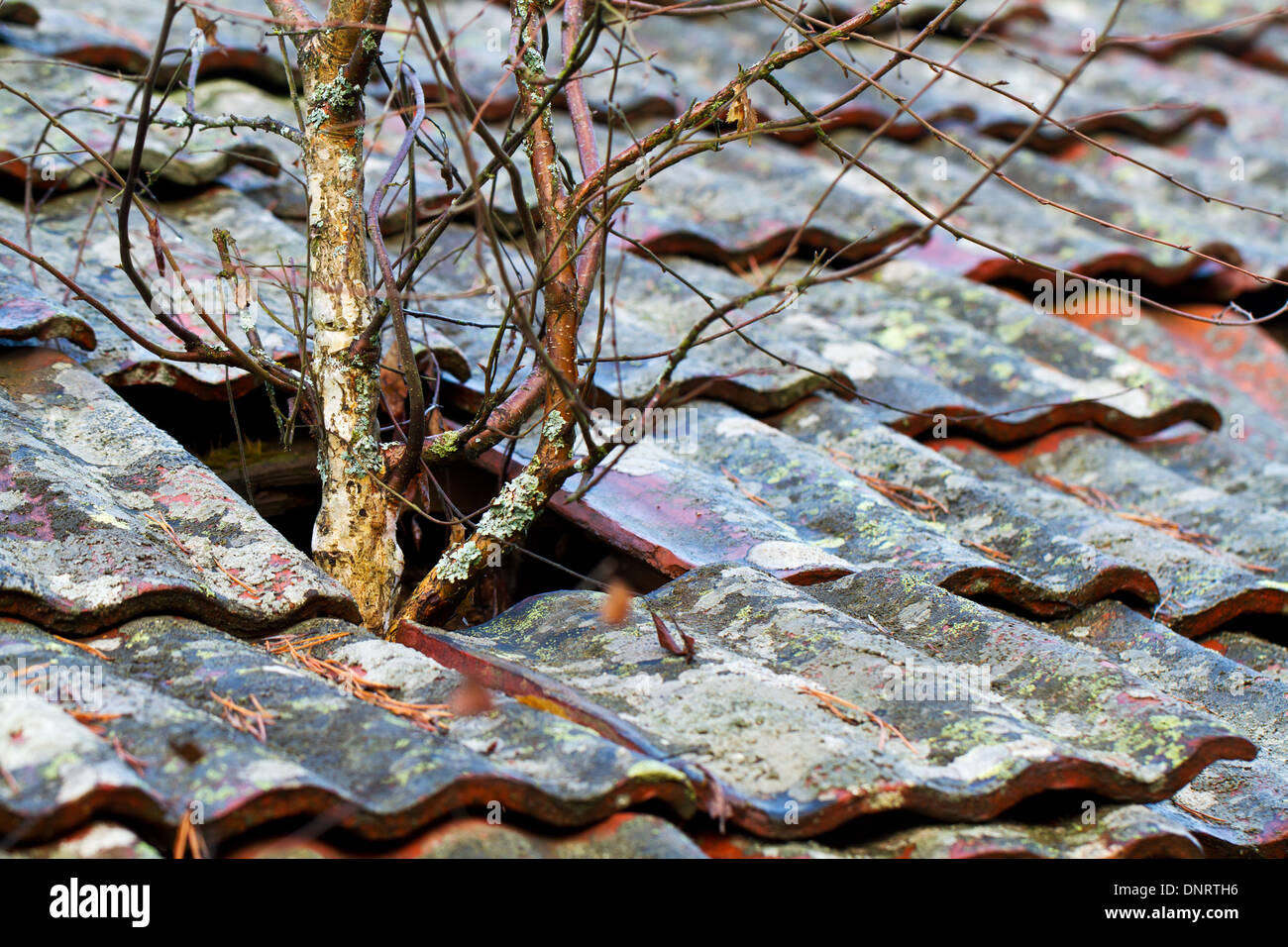 Trees growing out through the tiled roof of an abandoned house - Stock Image