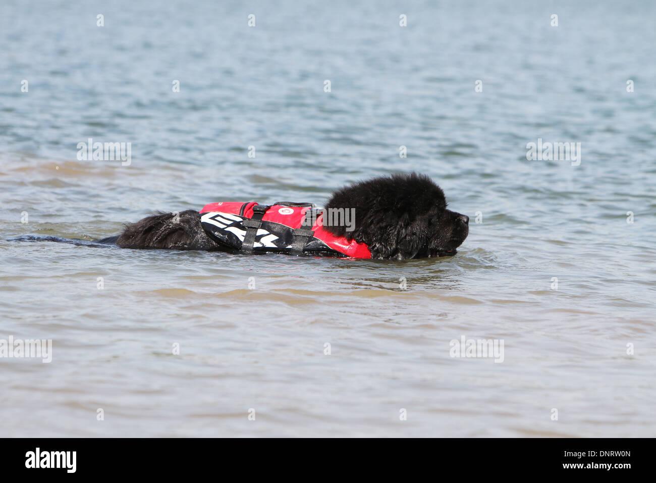 Dog Newfoundland /  adult during a training - Stock Image
