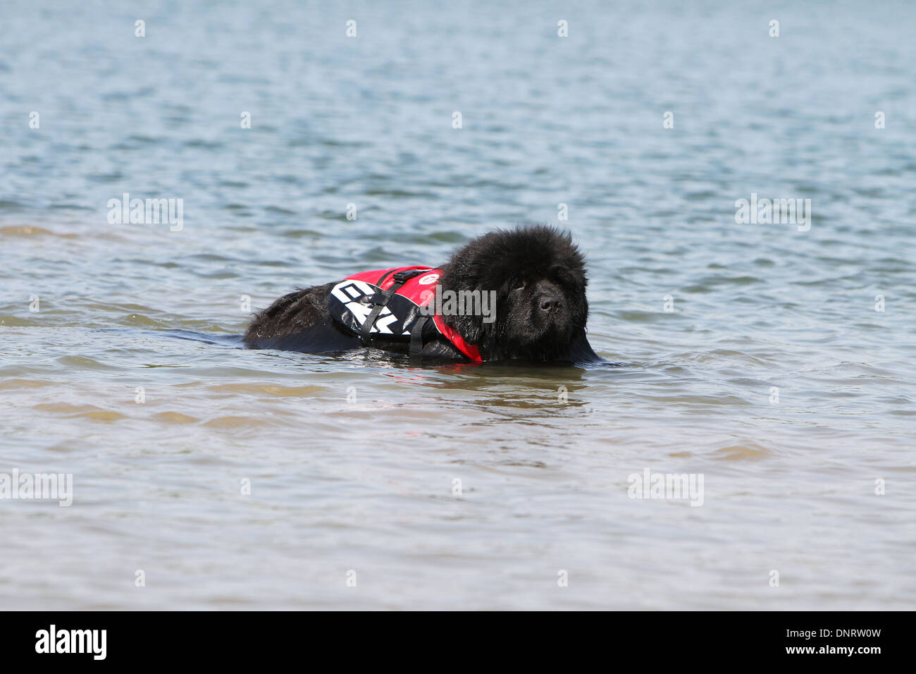 Dog Newfoundland /  adult in training - Stock Image