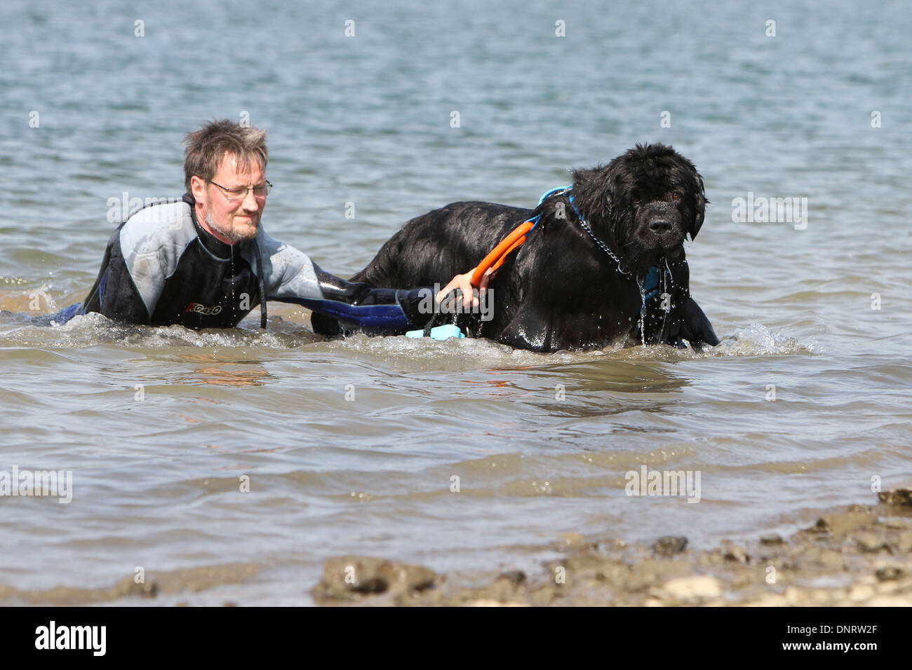 Dog Newfoundland /  adult rescues a swimmer during a training - Stock Image