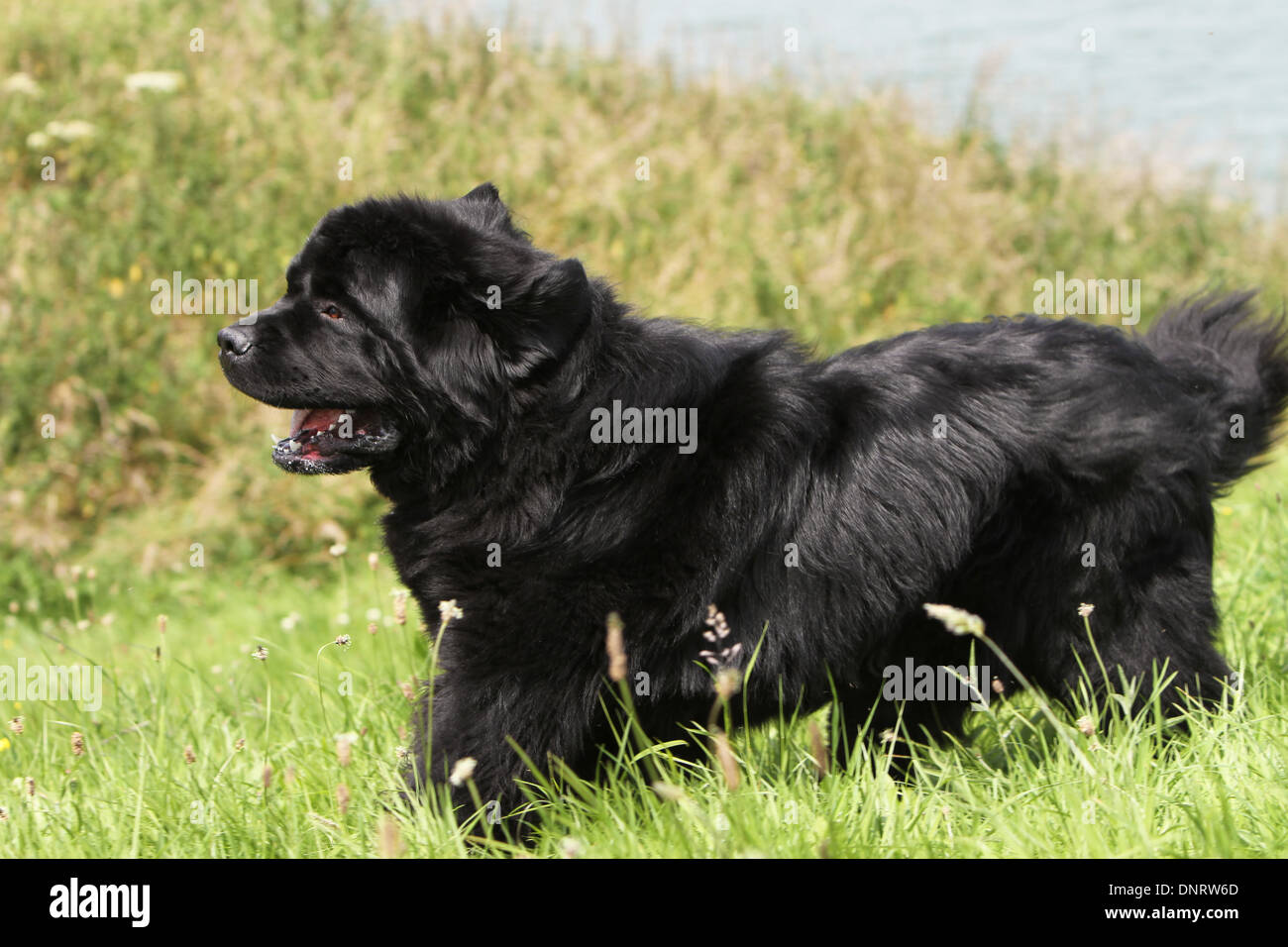 Dog Newfoundland /  adult running in a meadow - Stock Image