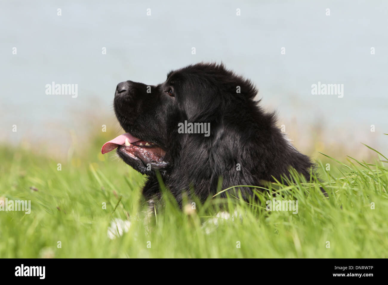 Dog Newfoundland /  adult  (black and white) lying in a meadow - Stock Image