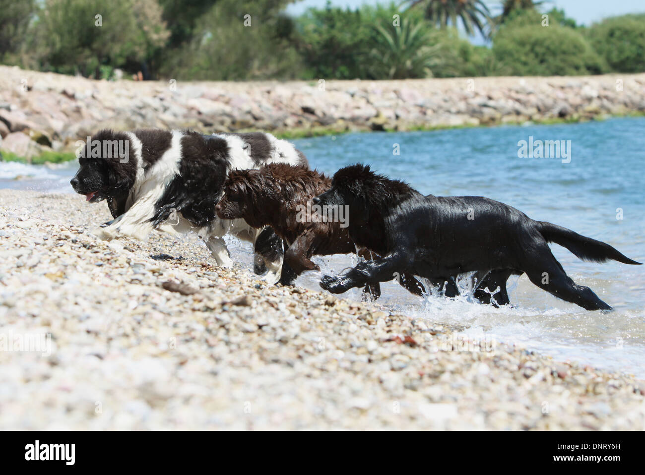 Dog Newfoundland Three Puppies Different Colors Out Of The Sea