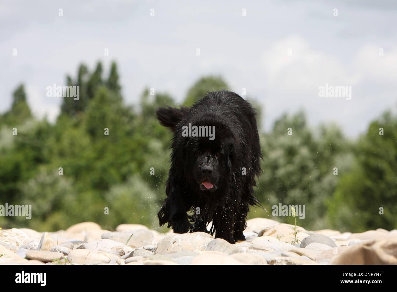 Dog Newfoundland /   adult walking on the rocks - Stock Image