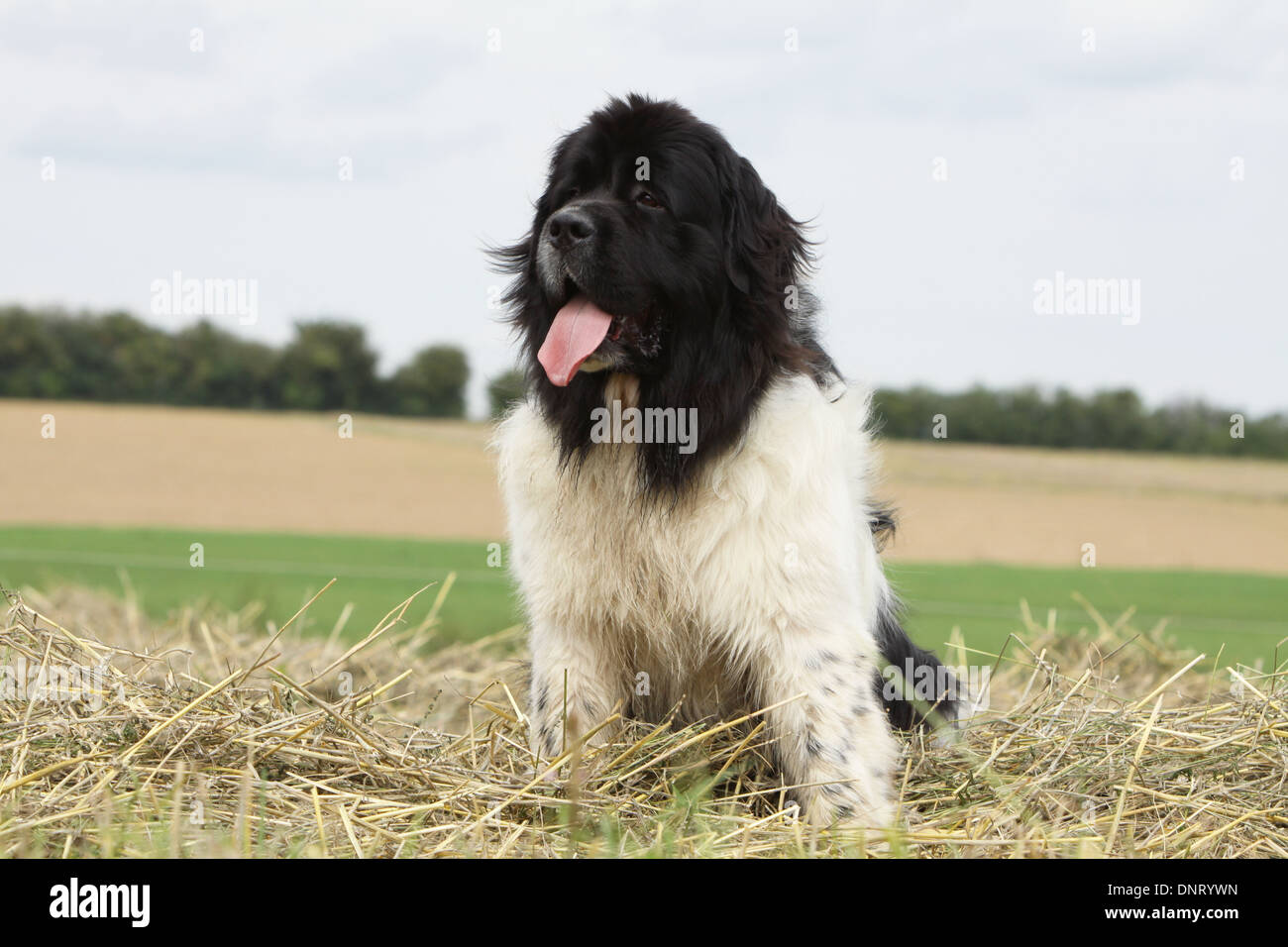 Dog Newfoundland  /  adult sitting in a field - Stock Image