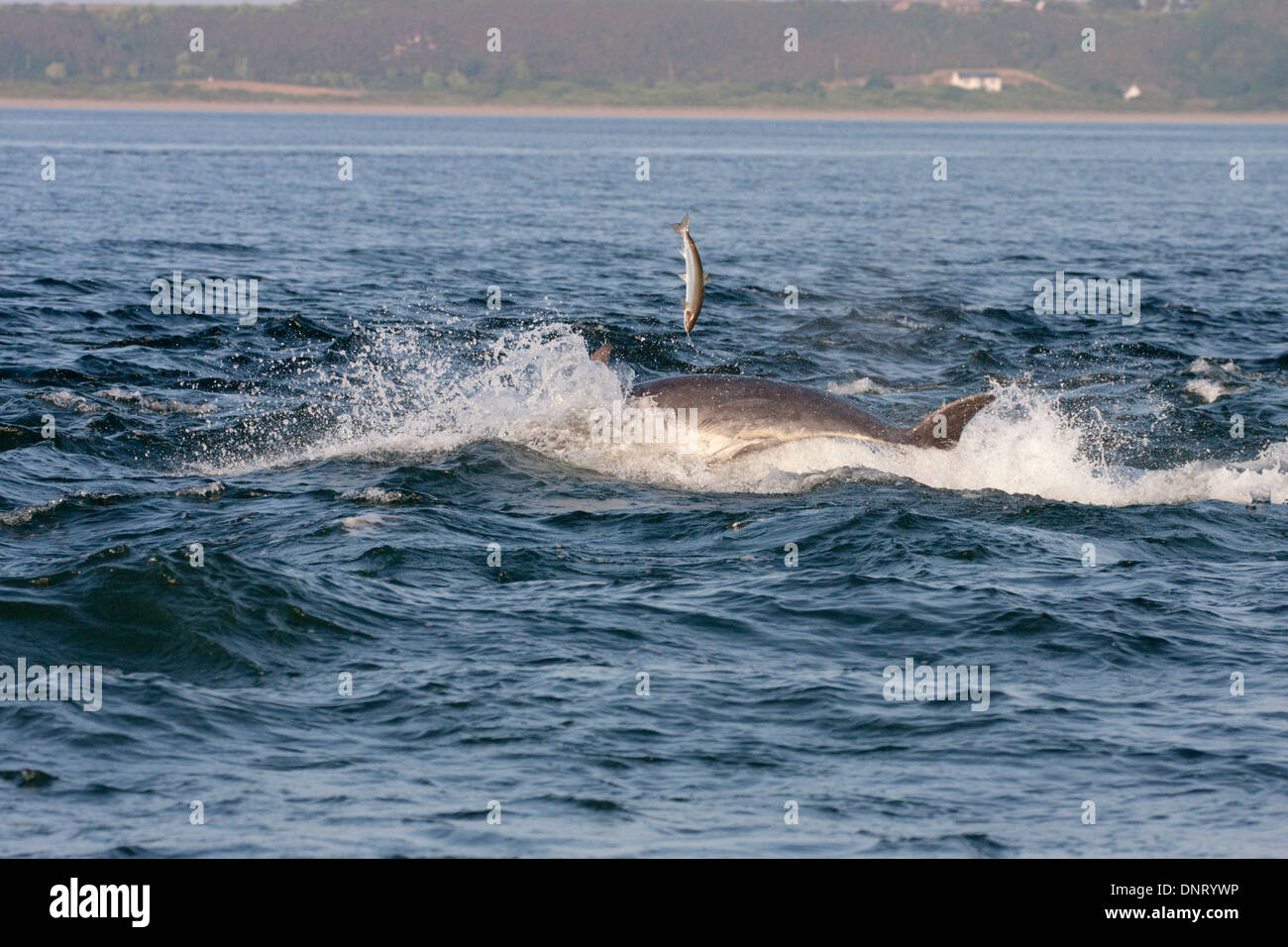 Bottlenose dolphin chasing a fish/salmon (Tursiops truncatus), Chanonry Point, Moray Firth, Scotland, UK - Stock Image