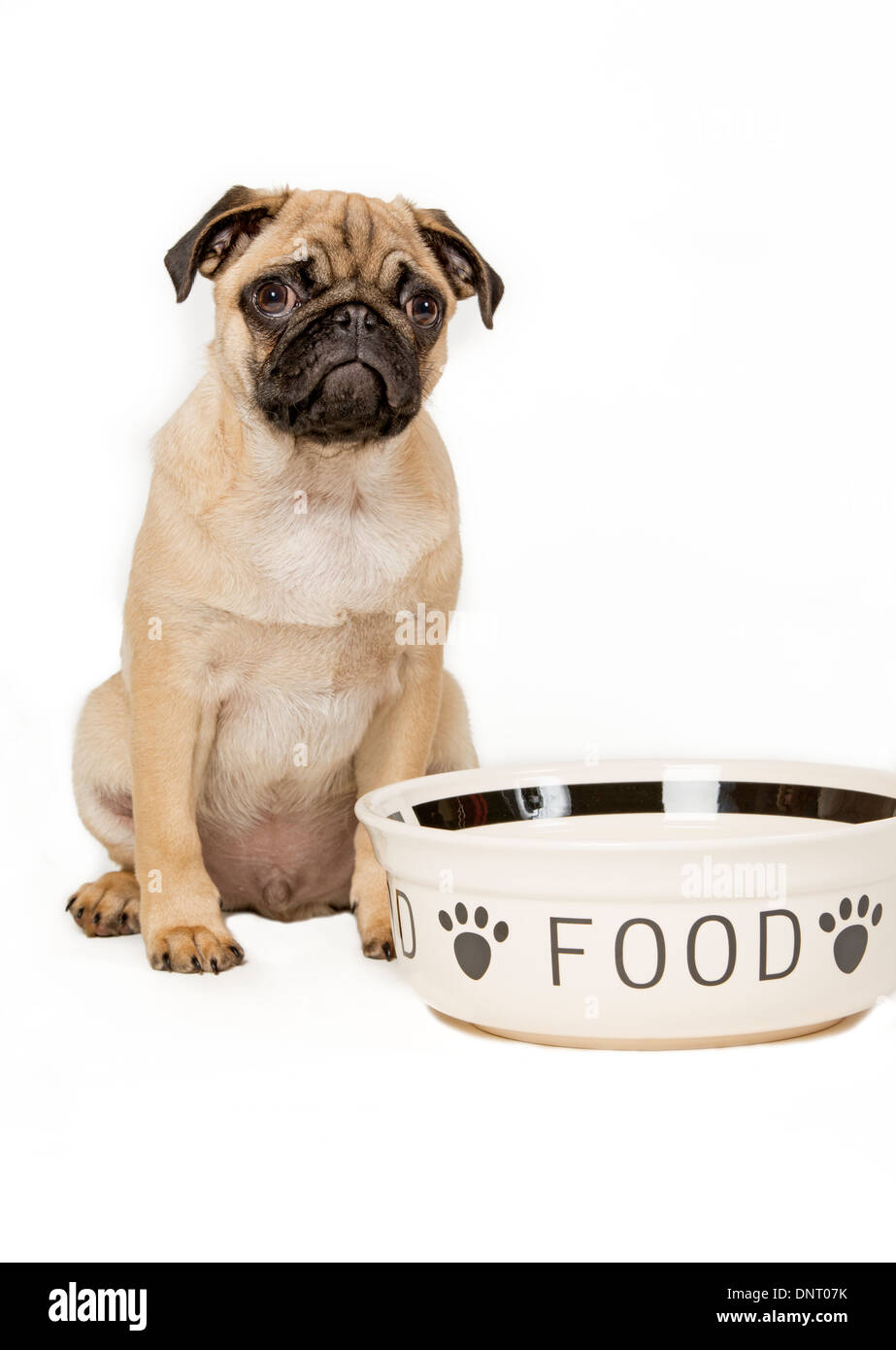 Young pug with feeding bowl - Stock Image