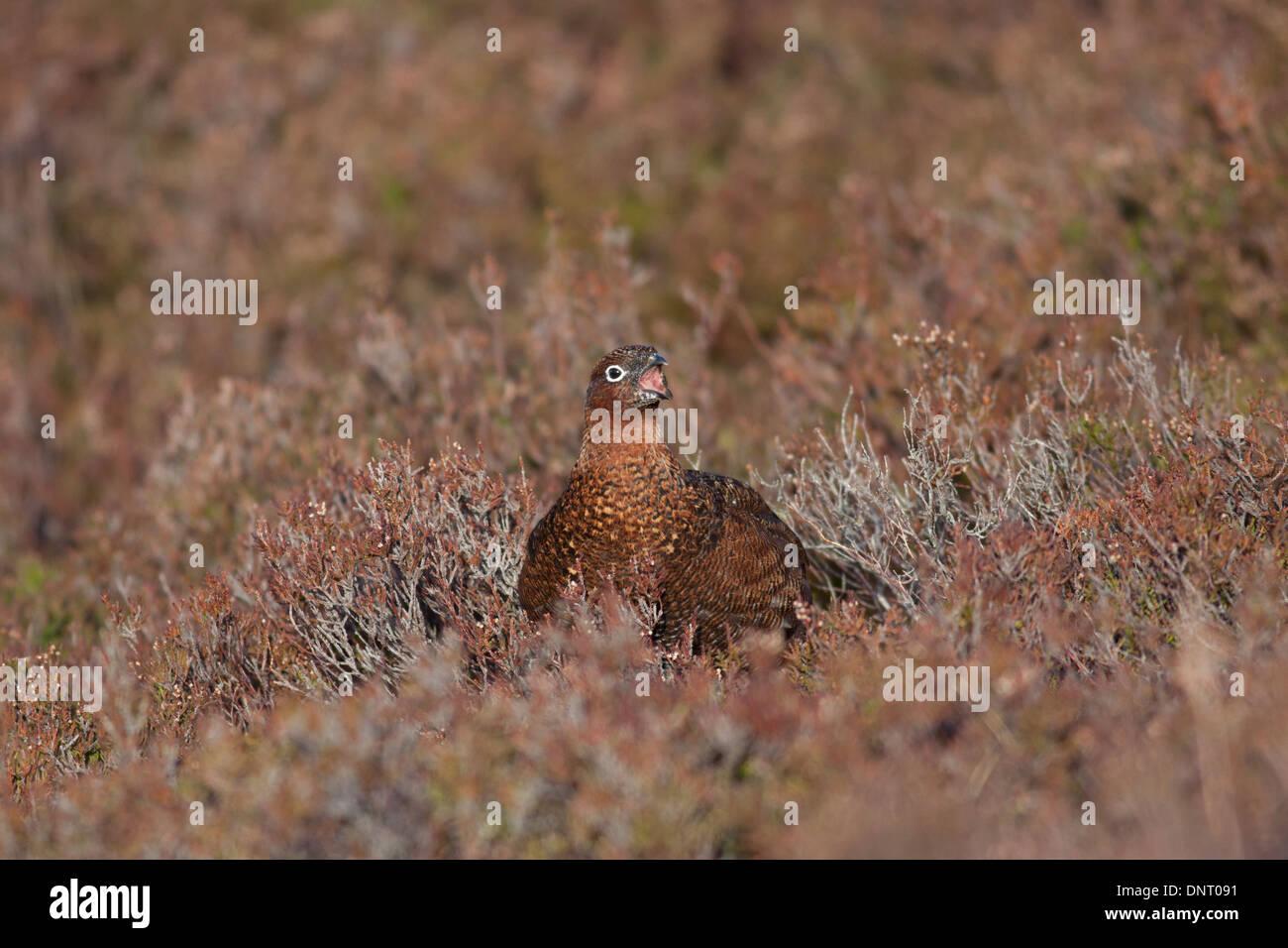 Female Red grouse (Lagopus lagopus scotica), Highlands, Scotland, UK - Stock Image