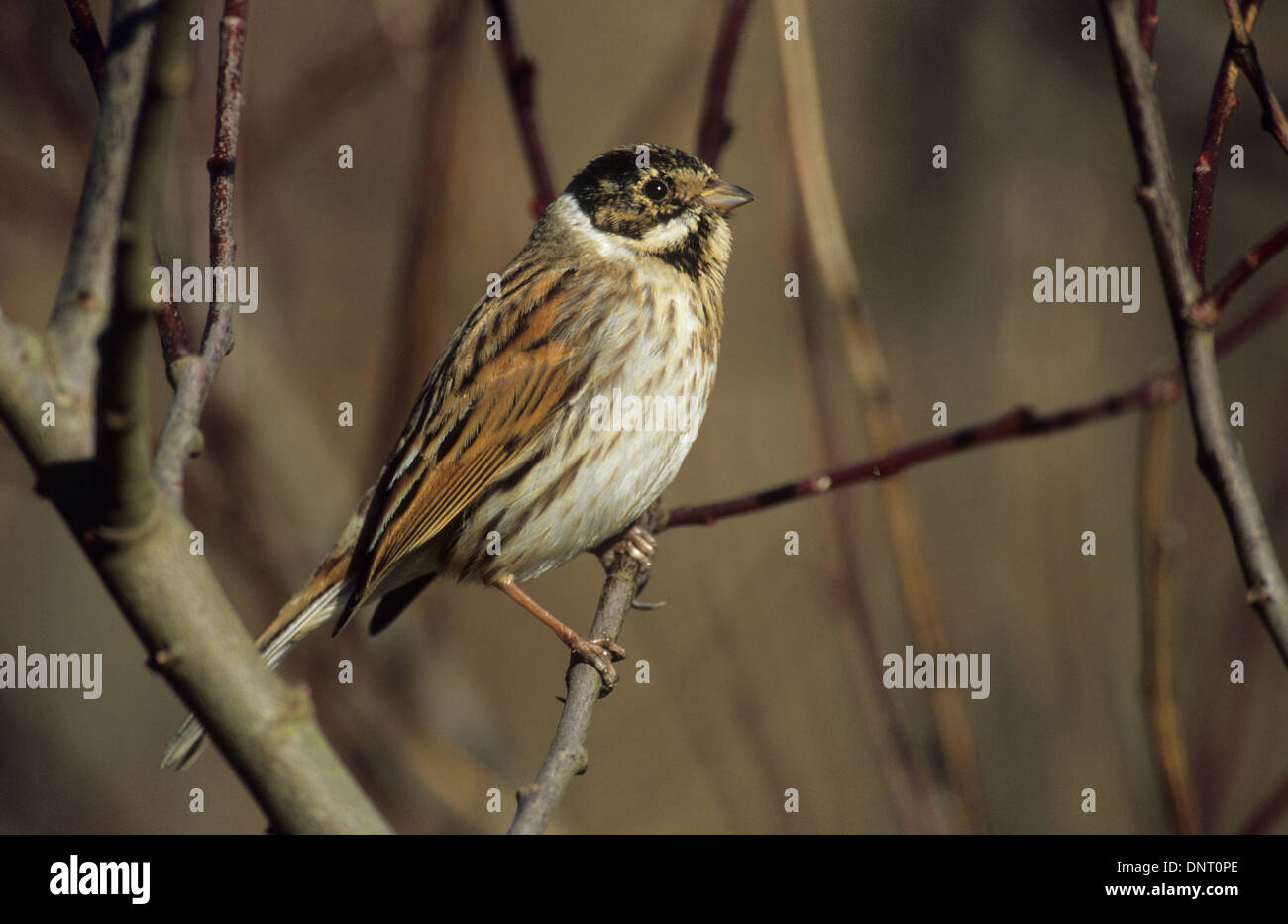 Reed Bunting Emberiza Schoeniclus Adult Male In Winter Plumage Stock Photo Alamy