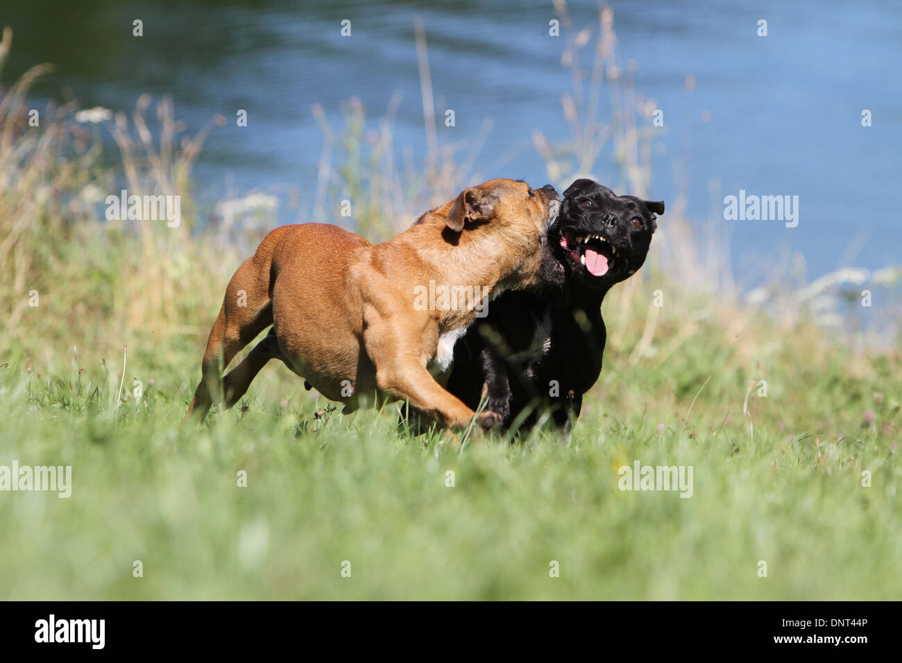 dog Staffordshire Bull Terrier / Staffie  /  two adults running in a meadow - Stock Image