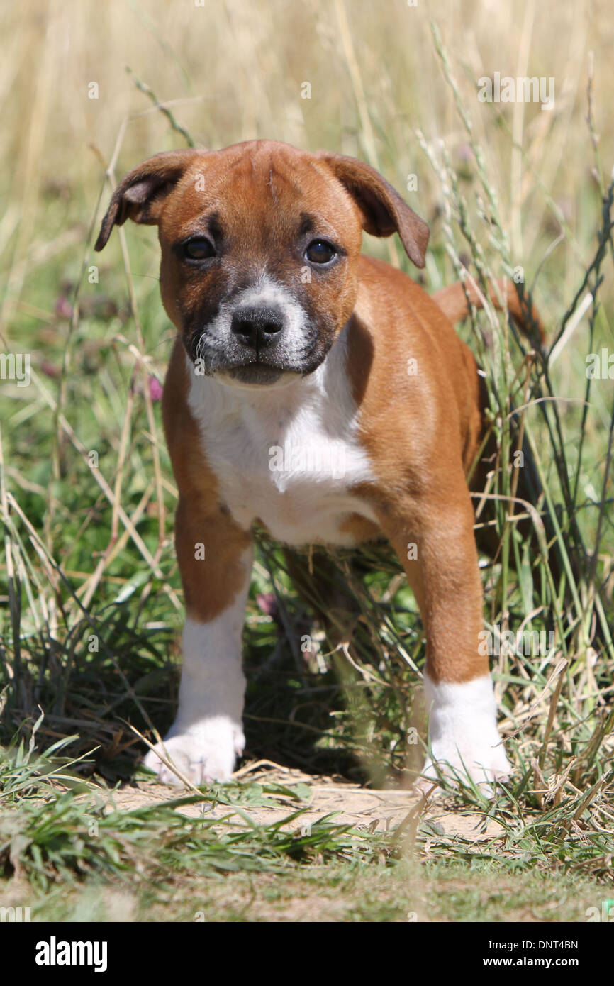 dog Staffordshire Bull Terrier / Staffie  puppy standing in a meadow - Stock Image