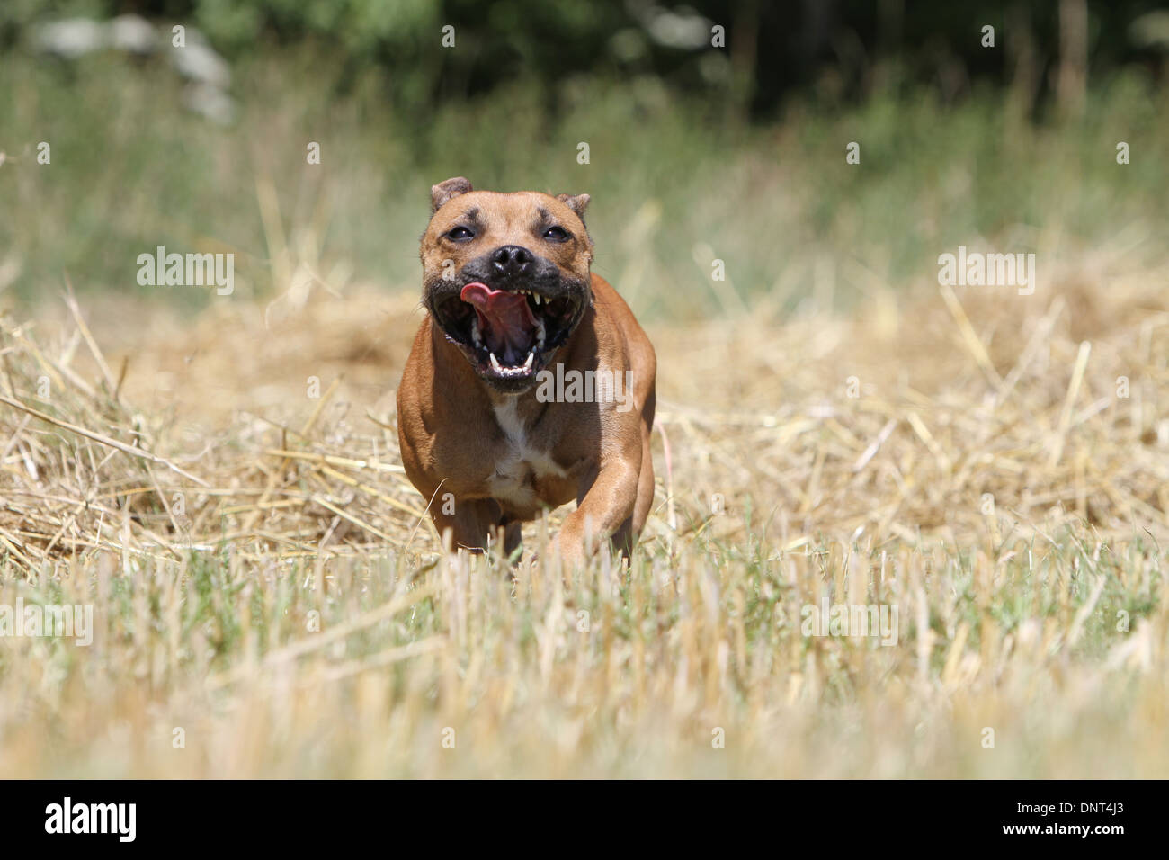 dog Staffordshire Bull Terrier / Staffie   adult running in a field - Stock Image