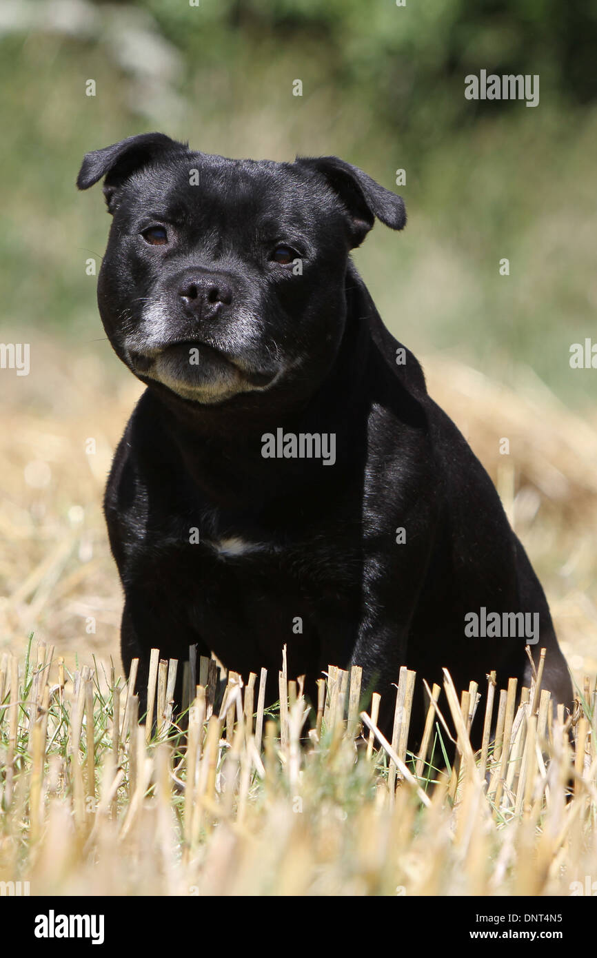 dog Staffordshire Bull Terrier / Staffie  adult sitting in a field - Stock Image