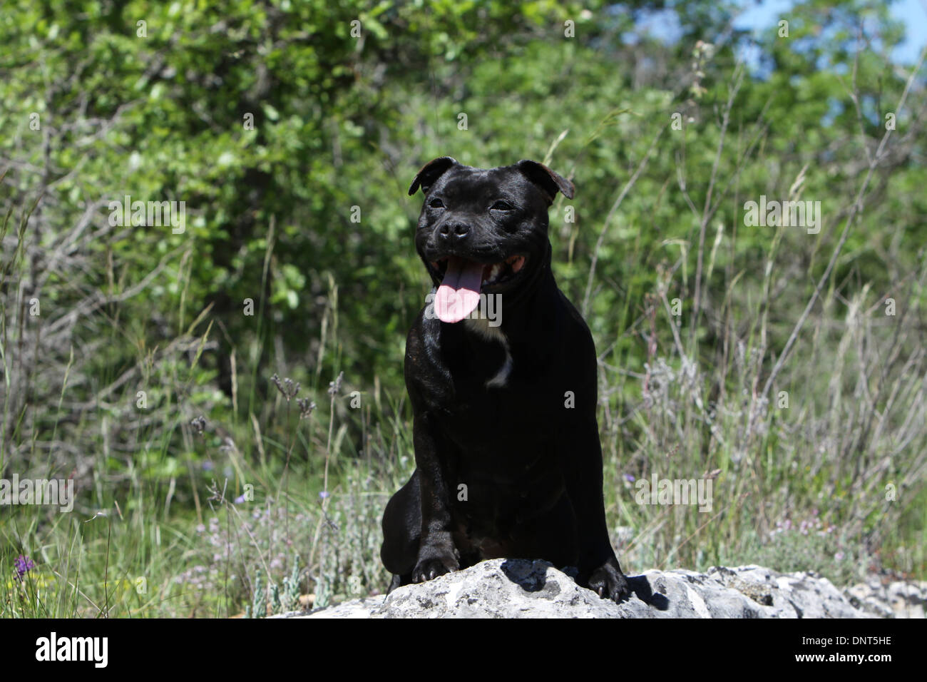 dog Staffordshire Bull Terrier / Staffie  adult sitting on a rock - Stock Image