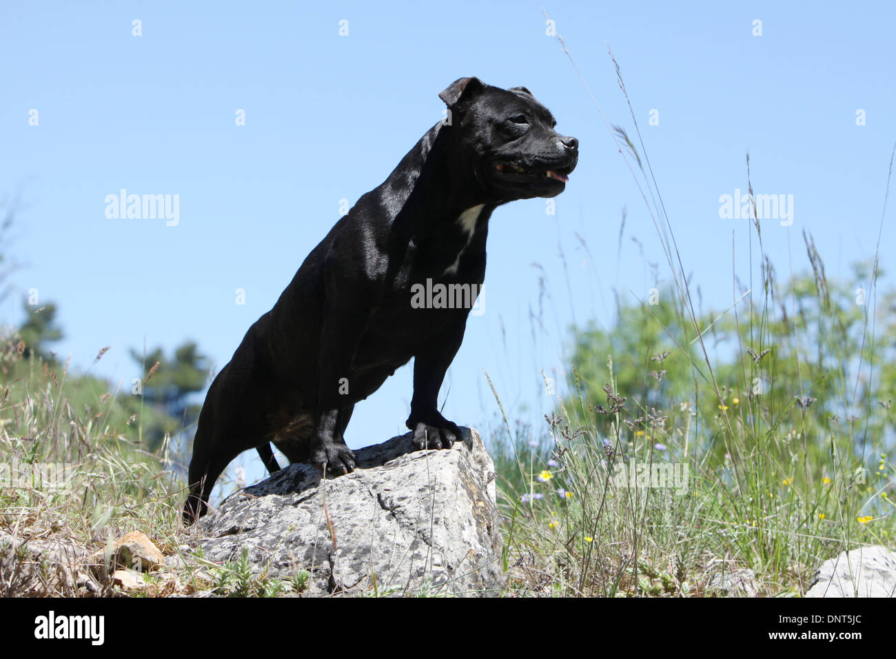 dog Staffordshire Bull Terrier / Staffie  adult standing on a rock - Stock Image