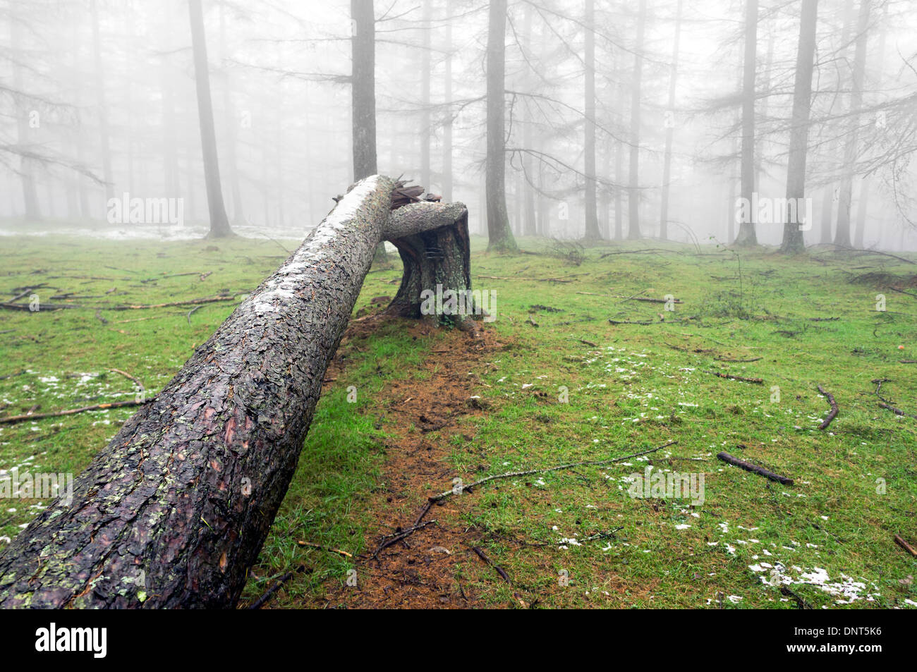 fallen tree trunk in foggy forest - Stock Image