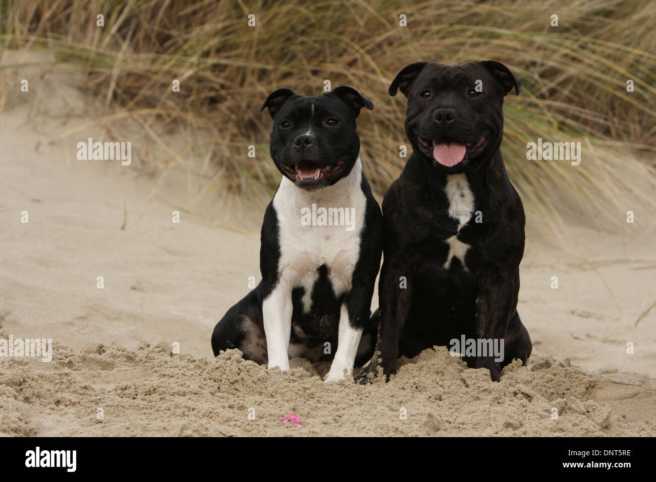 dog Staffordshire Bull Terrier / Staffie  two adults sitting in dunes - Stock Image