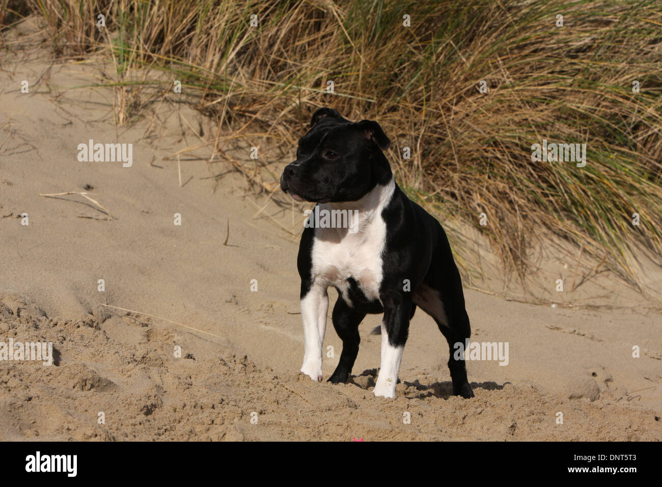 dog Staffordshire Bull Terrier / Staffie  adult standing in dunes - Stock Image