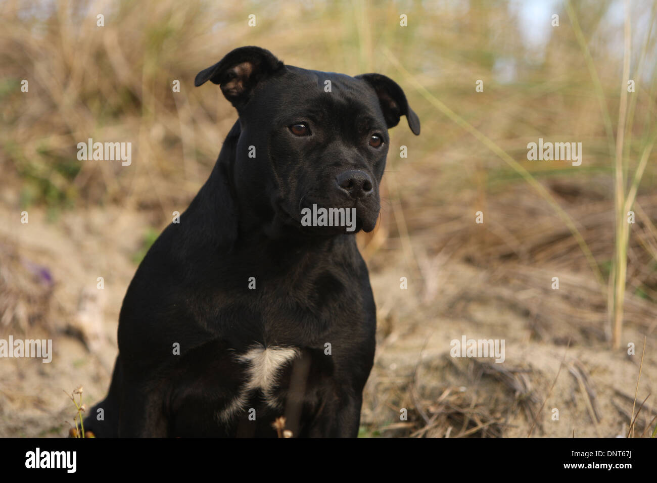 dog Staffordshire Bull Terrier / Staffie  adult portrait - Stock Image