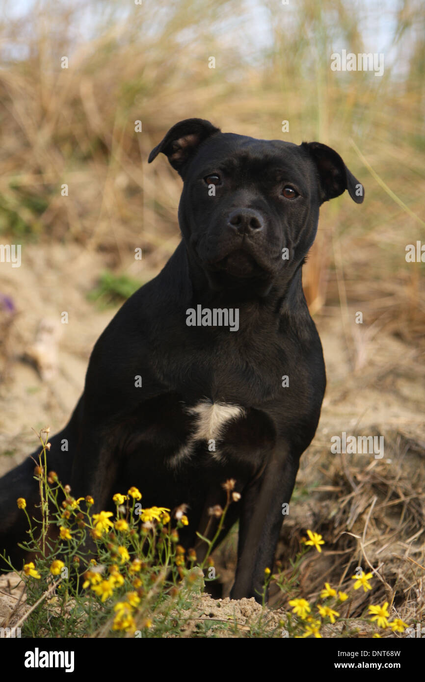 dog Staffordshire Bull Terrier / Staffie  adult sitting in dunes - Stock Image